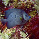 Angelfish while diving with Off The Wall