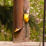 American finches at the feeder