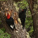 coming back to El Puma, male and female Magellan Woodpeckers near the end of the trail coming ba