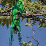 Resplendent Quetzal at Curi Cancha Reserve, Monteverde