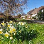 Close by: Daffodils at winkle Street (courtesy of Visit Isle of Wight)