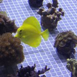 Yellow Tang Poking at Coral