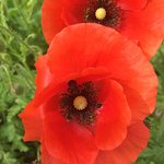 Poppies around the place