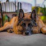 Gloria der Haushund