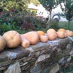 pamkins crop