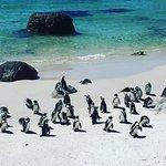 Lovely african penguins