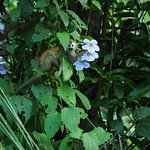 Squirrel monkey going for orchid flower food viewed from our villa.