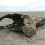 Drift Wood on Beach