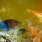 Koi meet the turtles