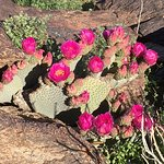 Several prickly pears in bloom along trail. Many more to come