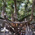 The many trunks of the old Banyan tree.