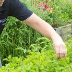 Executive Chef Donna Hollis picking fresh herbs from our onsite garden