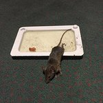 I found this rat in my room- #711. The staff knows about the rat problem hence the trap. I immed