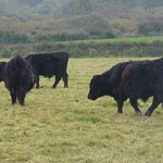 Welsh Black Cattle in the field next door