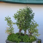 Photo of Museo del Bonsai