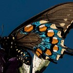 Pipevine swallowtail feeds on mountain laurel