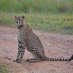Cheetah sighting