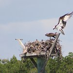 Mom, Dad, and the kids (Ospreys)