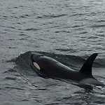 Orcas in the bay.
