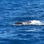 Humpback whale 50 feet away.