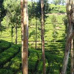Nearby tea plantations