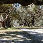 The allee of live oaks entraceway.