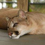 Cougar, Meeka. 9 Months old