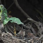 A young basilisk lizard found along the river