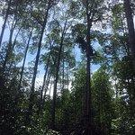 The tallest mangrove forest at Lampi Island လန်ပိကျွန်း