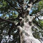 Broadgreen oak tree