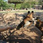 кормим жирафа