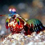 Mantis shrimp in the night at Kudagiri