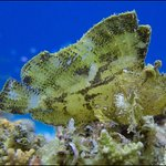 Leaf fish at Vilivaru reef