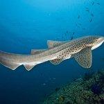 Leopard shark seen on Shark reef and Lhosfushi corner
