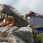 Iguana at Glunz
