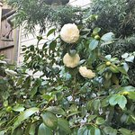 A camellia bush in the garden