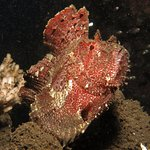 Leafy frogfish