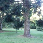 norfolk island pines in the park
