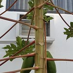 Nice to sit outdoors reading in January, looking at a well-maintained papaya tree!