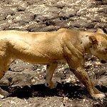 Elder lioness