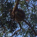A Wild Koala