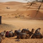 Camels for trekking into the dunes