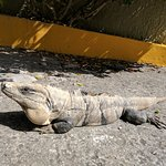 Iguanas hanging out at the front of hotel!