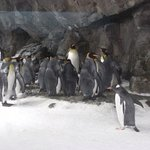 King penguins imitating the US Congress.
