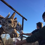 Feeding the giraffes from the truck bed!