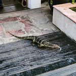 Anantara Riverside Resort - a pool side resident - a monitor lizard!