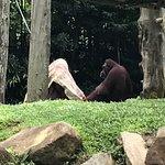 Orangutang hiding under blanket