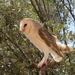 An Owl from the Bird Show at the Desert Park of Alice Springs, Australia