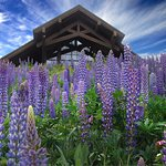 Lupine Bloom Outrageous Spring 2014