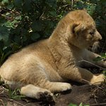 Lion cub near mother